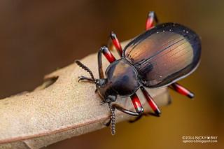 Darkling beetle (Eucyrtus cf. pretiosus) - DSC_6954