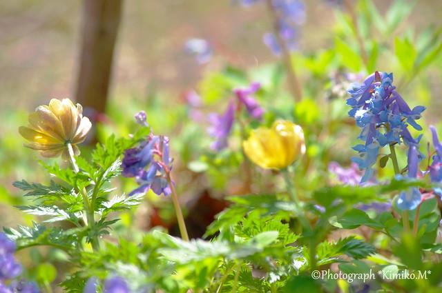 Spring ephemeral②