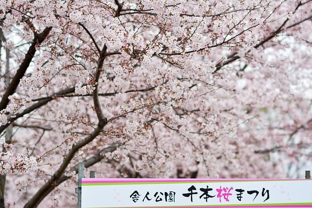 舎人公園・千本桜まつりの看板と桜