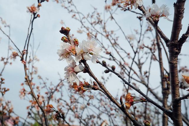 情境 • 櫻花