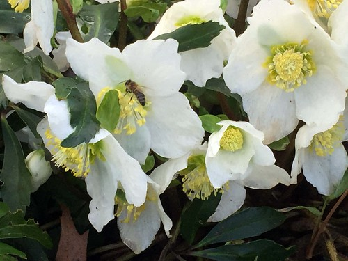 Dec 2015 bee on hellebores IMG_4485