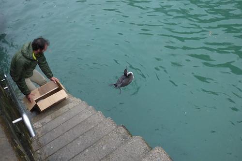 Colimbo grande en el puerto de Donosti