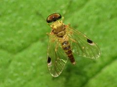 Pale Snipe Fly