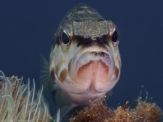 Comber fish, Sägebarsch (Serranus cabrilla)