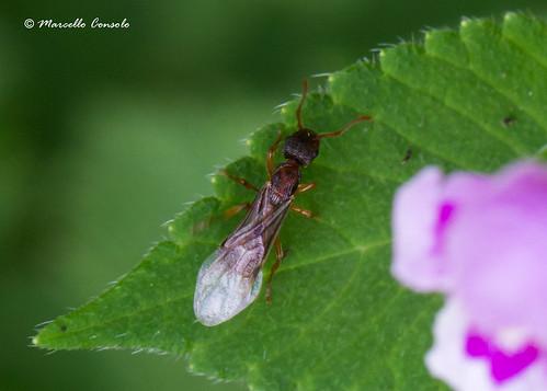 Myrmica sp. Queen