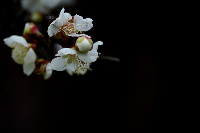 ウメ Plum blossoms
