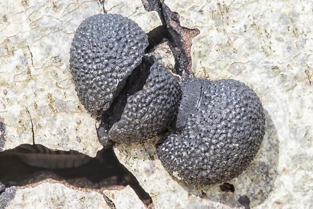Cramp Balls, Annulohypoxylon thouarsianum Los Osos Oaks Preserve, CA 16Mar16_MG_0738 WS