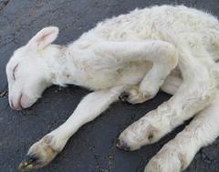 Deformed lamb
