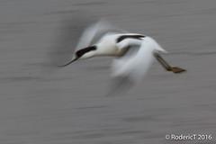 20160409-ROTL2603 Avocet Blurr Slow Shutter Speed Titchwell RSPB Reserve North Norfolk.jpg