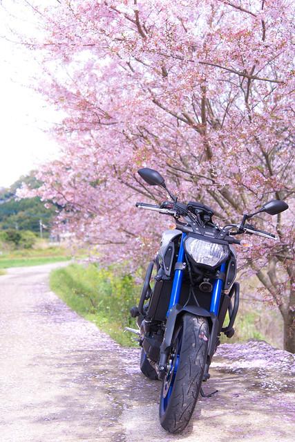 桜とMT-09
