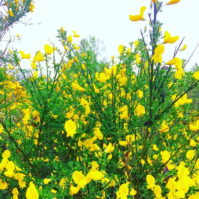 Scotch Broom everywhere! 💛