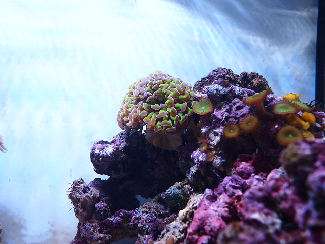 P4122955 榔頭珊瑚 鈕扣