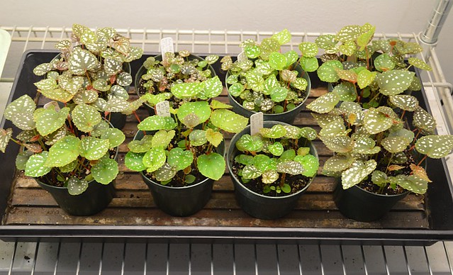 Begonia seedlings