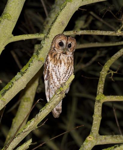 Tawny Owl, Old Warden, 9th-10th January 2016