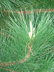 starr-090130-1396-Pinus_sp-needles-Puu_Nianiau-Maui