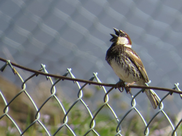 Madeira Spanish Sparrow