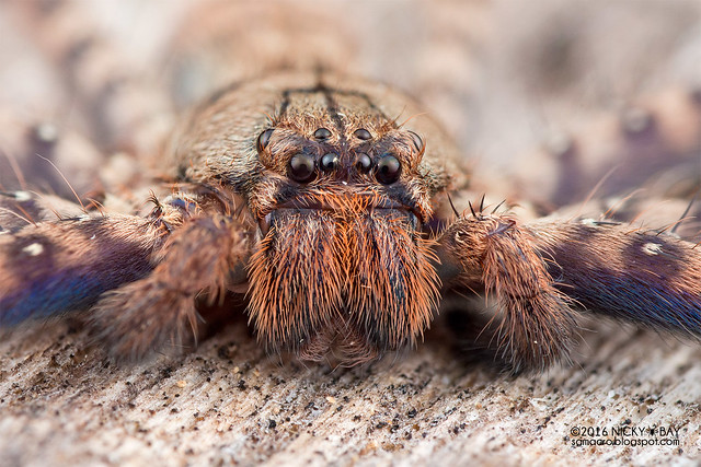 Huntsman spider (Heteropoda sp.) - DSC_8030