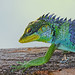 Large-scaled forest lizard by Anuj Nair