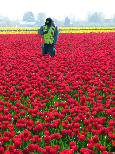A Guard Keep Watch in one of La Conner's Tulip Fields