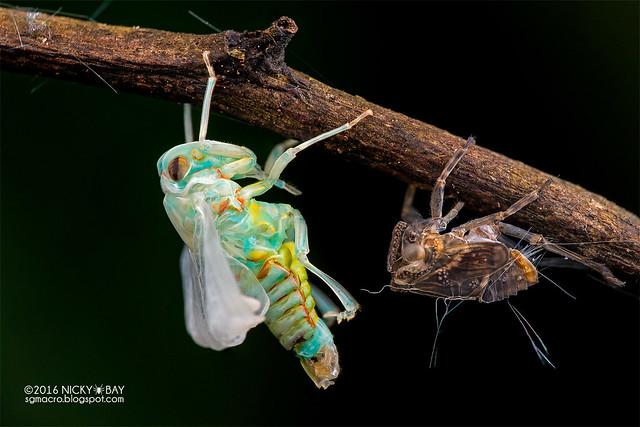 Planthopper (Fulgoromorpha) - DSC_6004
