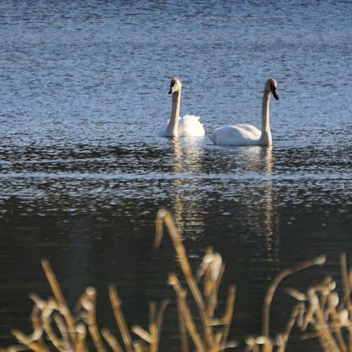 Swans at Lebanon Hills in April.