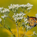 Monarch Butterfly by TheGreenHeron