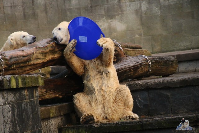 Eisbär Fiete im Zoo Rostock  092