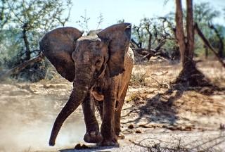 Wüstenelefant im Aba-Huab Gebiet, Damarland