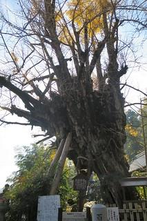 樹齢1200年の伝承がある乳銀杏