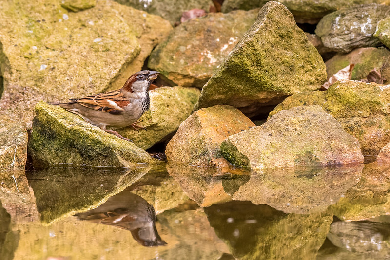 Thirsty House Sparrow