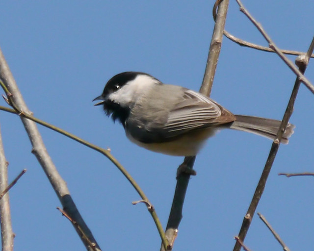 Carolina Chickadee - 2