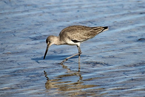 IMG_7070_Willet_Sandpiper_at_Howard_Beach