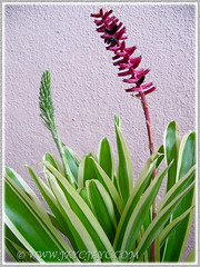 Aechmea gamosepala (Variegated Matchstick Plant/Bromaliad) with a new flower spike that had emerged, March 10 2016