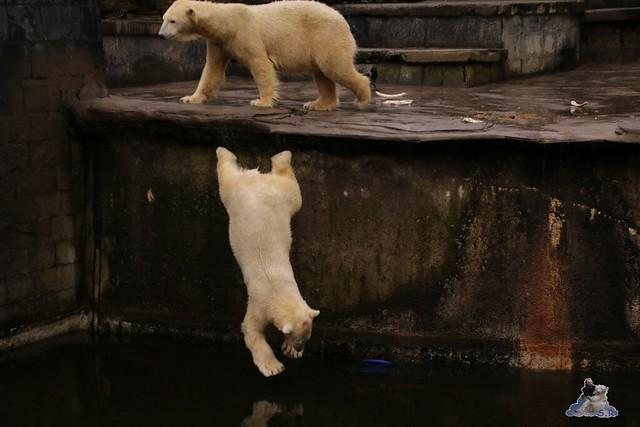 Eisbär Fiete im Zoo Rostock 13.03.2016 Teil 2  0166