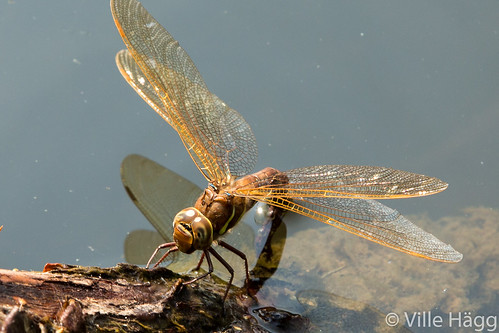 finland insect dragonfly fi kangasala ponsa pirkanmaa