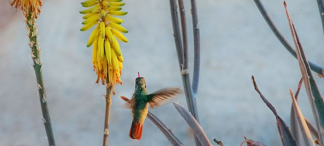 slider_hummingbird_aloe