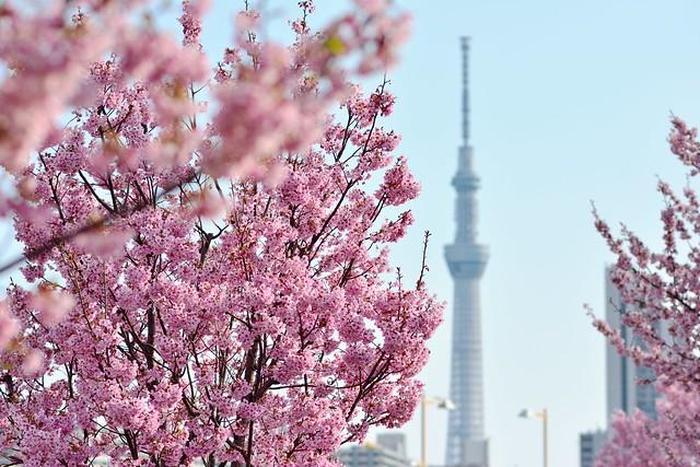 スカイツリーと陽光桜が見られる汐入公園