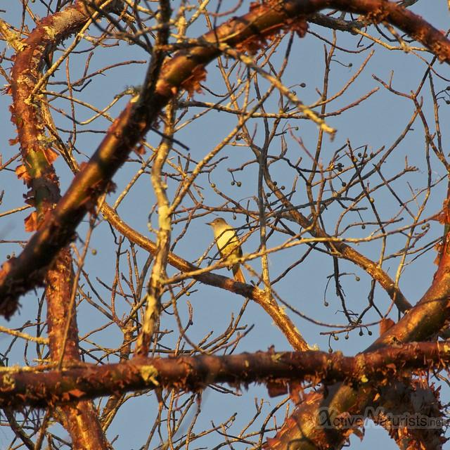 singing bird 0000 Everglades, Florida, USA