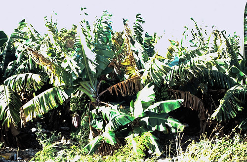 deadmanscayairport deadmanscay pflanzen bananen plantage dia scan 1980s slide 1980er diapositivfilm kleinbild kbfilm analog 35mm canoscan8800f 1989 contax137md bahamas longisland nordamerika thebahamas familyislands outislands mittelamerika karibik westindischeinseln amerika insel natur bananenpflanze