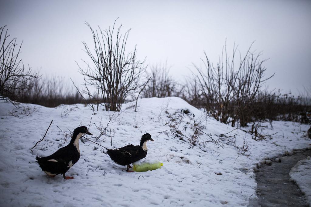 Kacsák a háztáji kis gazdaságban Andiéknál | Fotó: Magócsi Márton