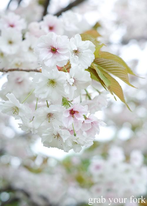 White sakura cherry blossoms at Matsumae Castle in Hokkaido, Japan