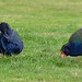 Small photo of Two takahe