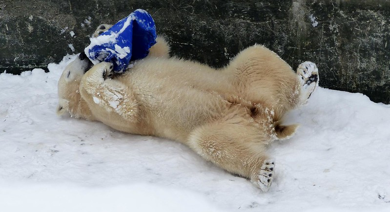 polar bear Fiete