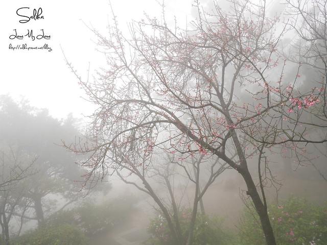 台北一日遊景點陽明山花季賞櫻花 (23)