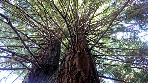 trees forest greece macedonia sequoia timeless katerini pieria πιερία μακεδονία κατερίνη σκοτεινά παλιάμόρνα σεκόγια σεκόγιεσ εργοστάσιοξυλείασ πανεπιστήμιοτωνδασών