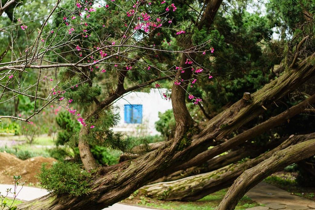 Cherry Blossom & Tilted tree