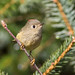 Ruby-crowned Kinglet 7D620418 by Melissa Kung