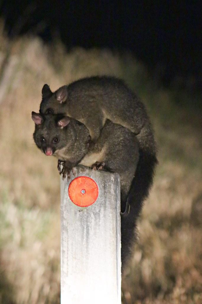 Tunnock bush-tail possum
