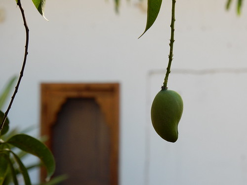 Zipolite - mango tree - 2