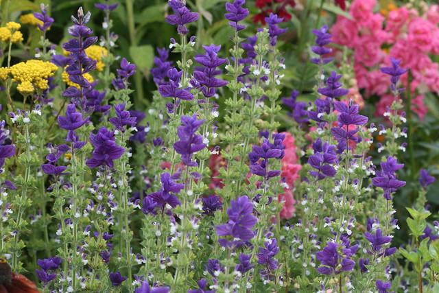 Salvia hormineum blue